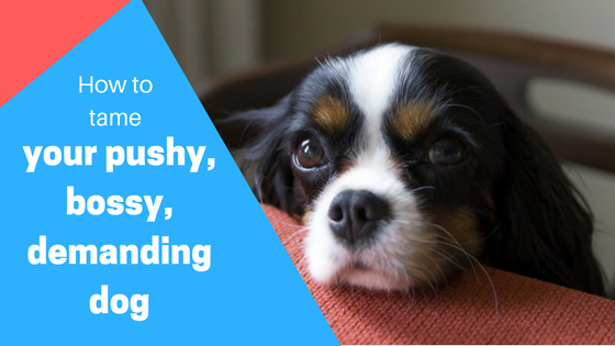 How to tame a demanding bossy or needy dog how to tame your bossy dog fandeluxe