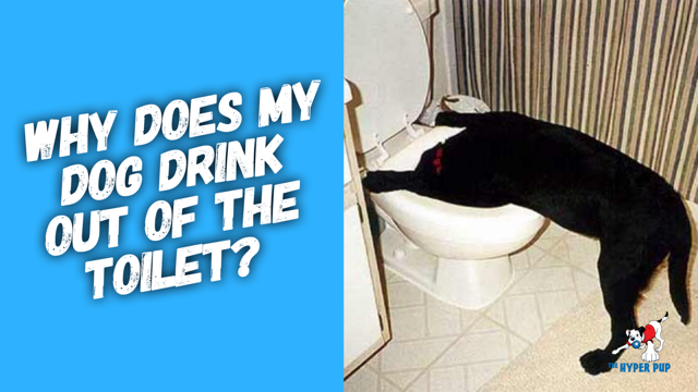 Why Does My Dog Drink Out Of The Toilet?
