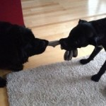 Will Playing Tug of War Make my Dog Aggressive?